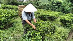 Farmer In Vietnam Cutting Tea royalty free stock photo