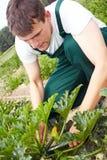 Farmer cutting zucchini Royalty Free Stock Photo