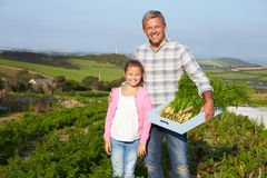 Farmer With Daughter Harvesting Organic Carrot Crop On Farm Royalty Free Stock Photo