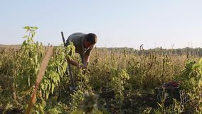Farmer digging up with a showel and harvesting sweet potatoes at field stock video footage