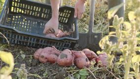 Farmer digging up with a showel and harvesting sweet potatoes at field stock footage