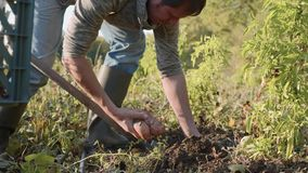 Farmer digging up with a showel and harvesting sweet potatoes at field stock video