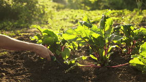 Farmer digs and loosens the ground with a shovel on field of organic farm in sunset light. Harvest of organic beets in garden, close up, lens flare stock footage