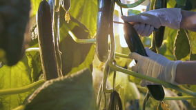 Farmer in disposable gloves gathers crops of cucumbers in glasshouse closeup. Gardener holds in hand green natural stock video