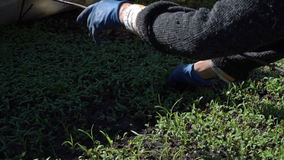 Farmer dives tomato seedlings stock footage