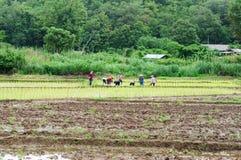Farmer do rice farming. People farmer do rice farming on rice field Royalty Free Stock Photo