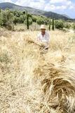 Farmer doing traditional wheat harvest in Greece. Stock Photography