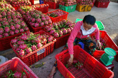 Farmer, dragon fruit, dragonfruit, trader Stock Image
