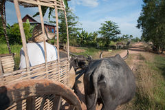 Farmer drives a cart drawn by water buffaloes Royalty Free Stock Photography