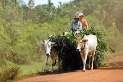 Farmer driving oxcart Stock Image