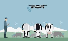 Farmer with drone counts cows. Royalty Free Stock Photo