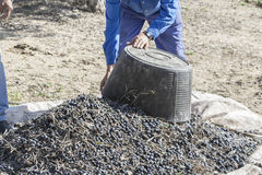 Farmer dumps olives collected in a lot Royalty Free Stock Photography
