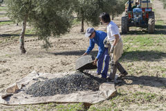 Farmer dumps olives collected in a lot, during the winter Royalty Free Stock Image