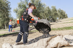 Farmer dumps olives collected in a lot, during the winter in Jan Stock Images