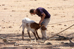 A farmer is earmarking a calf, Alentejo, Portugal Stock Photos