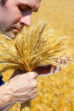 Farmer with ears. In wheat field checking his harvest royalty free stock image