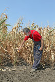 Farmer examine corn field Stock Image