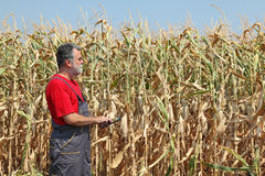 Farmer examine corn field Royalty Free Stock Photo