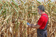 Farmer examine corn field Stock Images