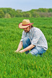 Farmer Examines and Controls Young Wheat Cultivation Field Royalty Free Stock Photo