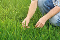 Farmer Examines and Controls Young Wheat Cultivation Field Stock Photos