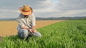 Farmer Examines and Controls Young Wheat Cultivation Field, Crop Protection Concept stock video footage