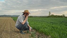 Farmer Examines and Controls Young Wheat Cultivation Field, Crop Protection Concept stock video