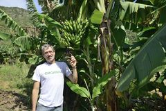 Farmer examining the banana plantation Royalty Free Stock Photography