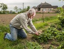 Farmer examining blooming strawberry Stock Photos