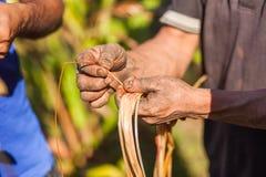 Farmer examining cardamom plant Stock Photos