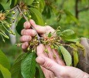 Farmer examining cherry trees Royalty Free Stock Photos
