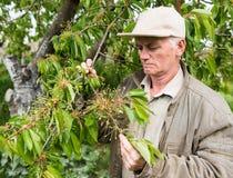 Farmer examining cherry trees Stock Photos