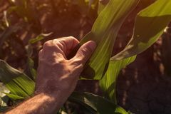 Farmer examining corn crops in field. Plant care and protection agricultural concept, close up of hand royalty free stock image