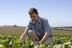 Farmer examining the crop. Farmer in a soya field examining the crop Royalty Free Stock Photography