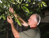 Farmer examining fresh walnut Royalty Free Stock Image