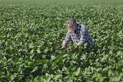 Farmer examining green soybean plants in field Stock Photography