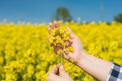 Farmer examining. Young female farmer examining single flower against yellow field, close up stock photography