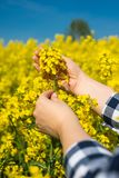 Farmer examining. Young female farmer examining single flower against yellow field, close up stock photo
