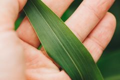 Farmer examining sorghum sudangrass plant leaf. Close up of male hand holding Sorghum sudanense plant part stock images