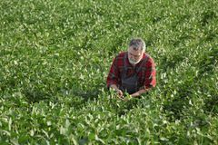 Farmer examining soy bean crop in field. Farmer or agronomist examining green soybean plant in field Stock Images