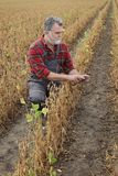 Farmer examining soy bean plants field. Farmer or agronomist examining soybean plant in field, using tablet,  ready for harvest after drought Royalty Free Stock Image