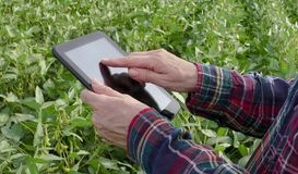 Farmer examining soy bean plants field. Female farmer or agronomist examining green soybean plant in field using tablet Royalty Free Stock Photography