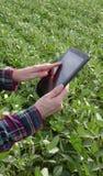 Farmer examining soy bean plants field. Female farmer or agronomist examining green soybean plant in field using tablet Royalty Free Stock Photo