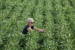 Farmer examining soy bean plants field Royalty Free Stock Images