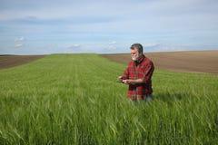 Farmer examining wheat field in spring royalty free stock photo