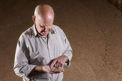 Farmer examining wheat grains in hand Royalty Free Stock Photography