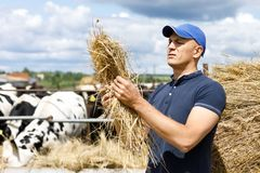 Farmer at farm with dairy cows. A farmer looks at hay feed on cow farm royalty free stock images