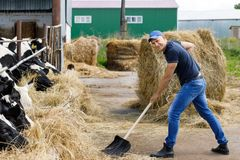 Farmer at farm with dairy cows. Farmer man running shovel on farm of cows royalty free stock images