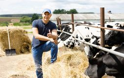 Farmer at farm with dairy cows. Farmer is working on cow farm stock photography