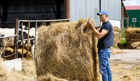 Farmer at farm with dairy cows. Farmer is working and looks at hay feedon cow farm stock image